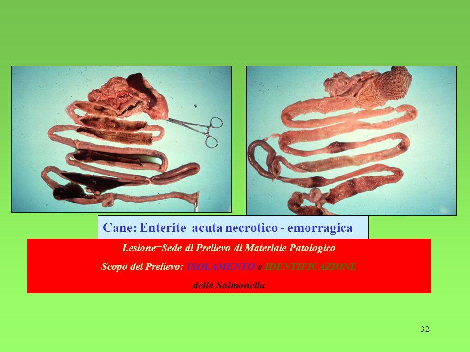 Cane: Enterite acuta necrotico - emorragica