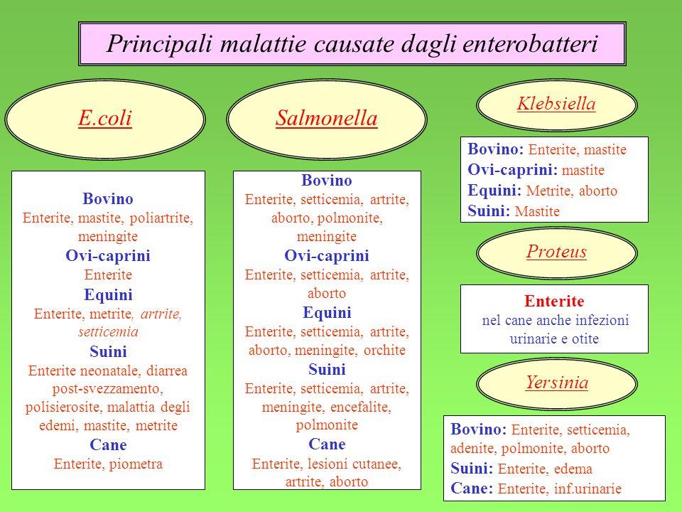Principali malattie causate dagli enterobatteri