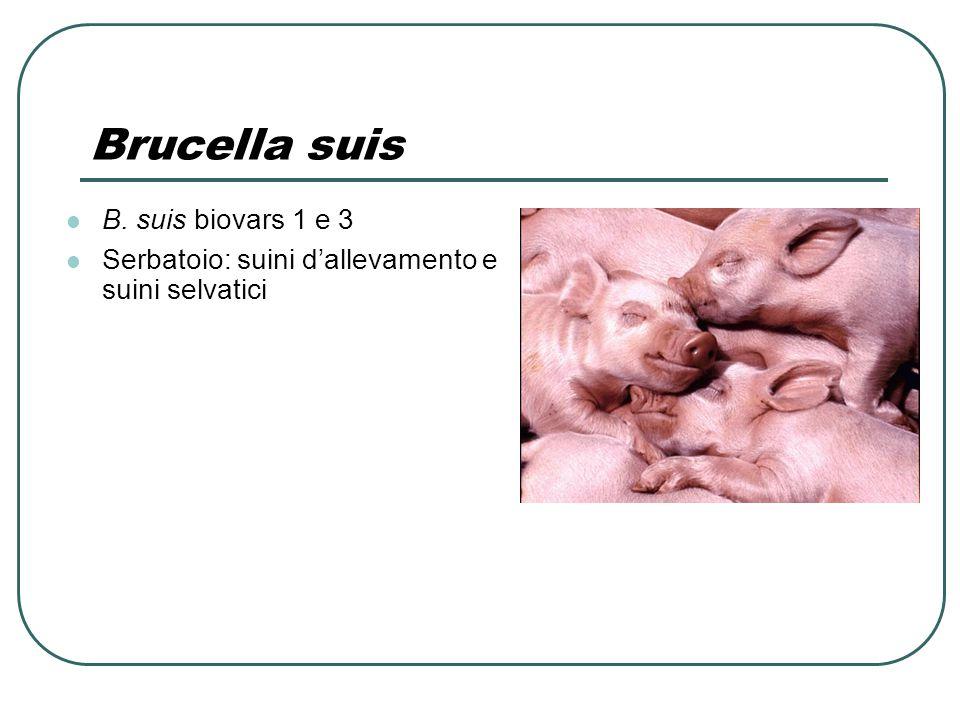 Brucella suis B. suis biovars 1 e 3