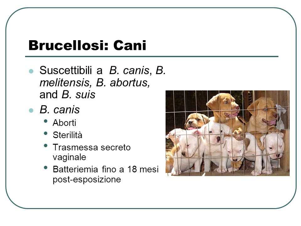 Brucellosi: Cani Suscettibili a B. canis, B. melitensis, B. abortus, and B. suis. B. canis. Aborti.