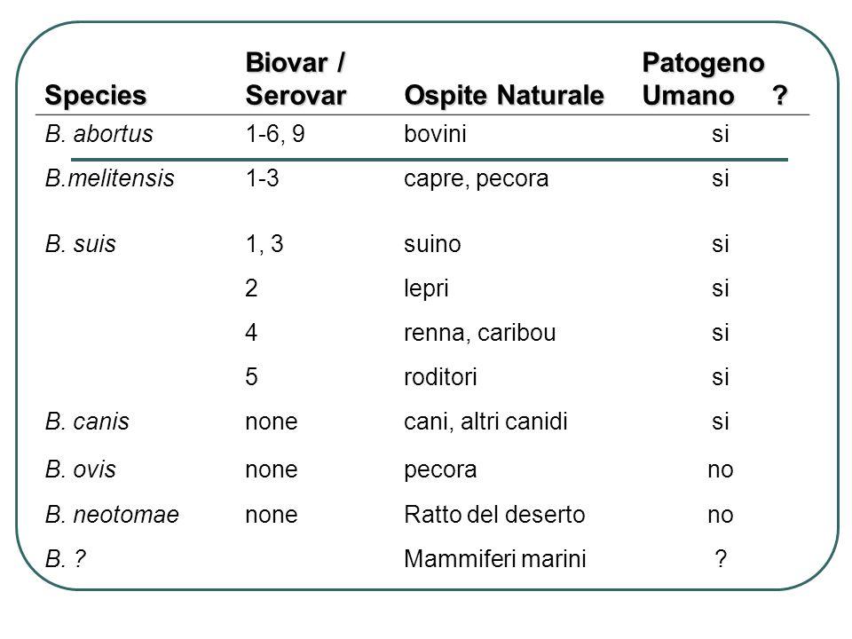 Species Biovar / Serovar Ospite Naturale Patogeno Umano B. abortus