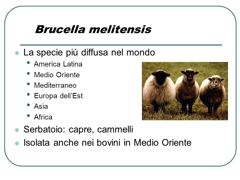 Brucella melitensis La specie più diffusa nel mondo