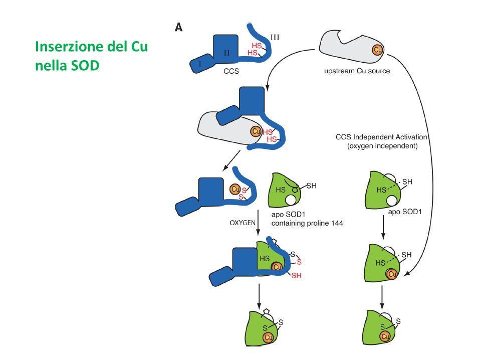Inserzione del Cu nella SOD
