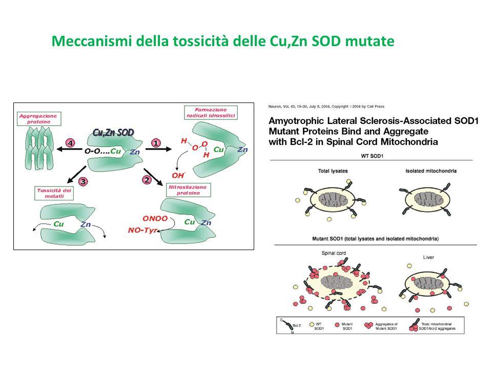 Meccanismi della tossicità delle Cu,Zn SOD mutate