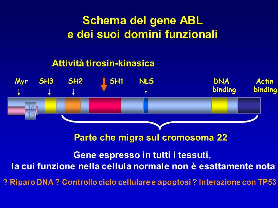 Schema del gene ABL e dei suoi domini funzionali