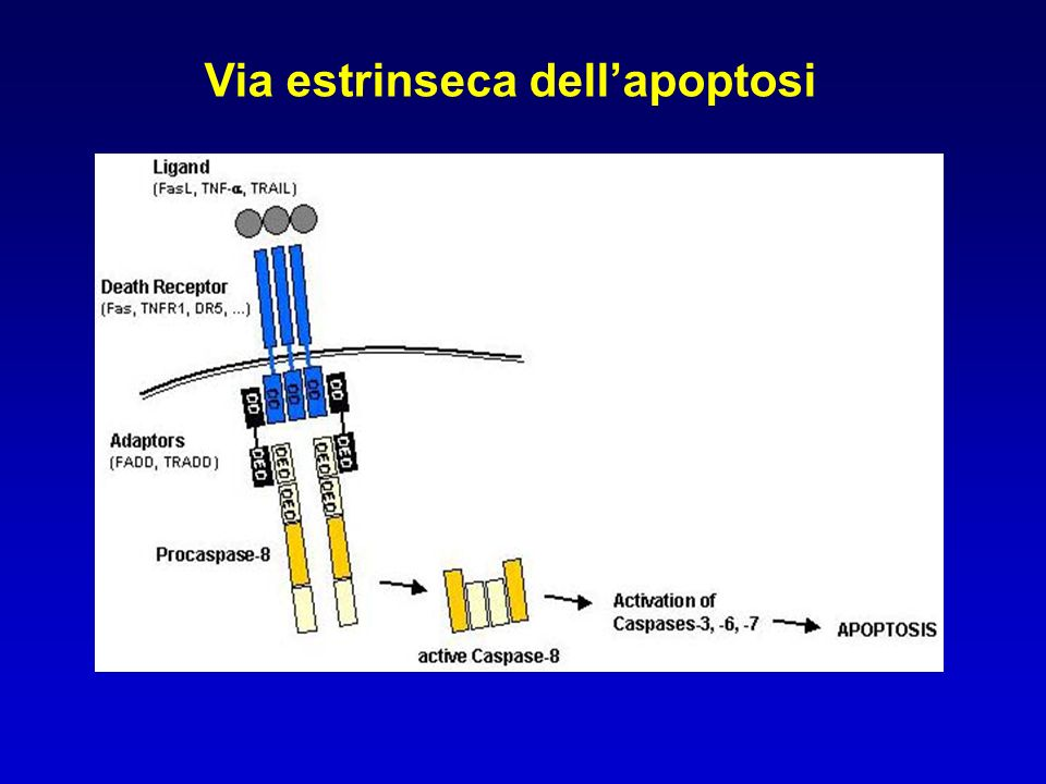 Via estrinseca dell'apoptosi