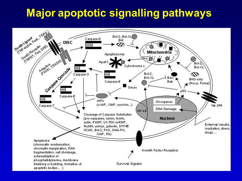 Major apoptotic signalling pathways