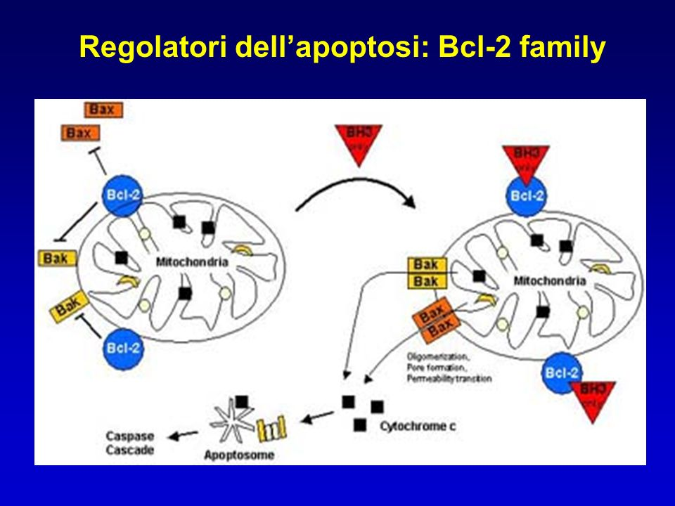 Regolatori dell'apoptosi: Bcl-2 family