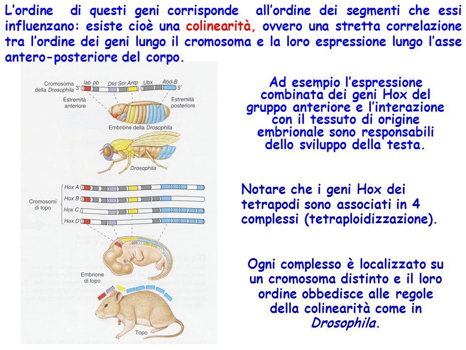 L'ordine di questi geni corrisponde all'ordine dei segmenti che essi influenzano: esiste cioè una colinearità, ovvero una stretta correlazione tra l'ordine dei geni lungo il cromosoma e la loro espressione lungo l'asse antero-posteriore del corpo.