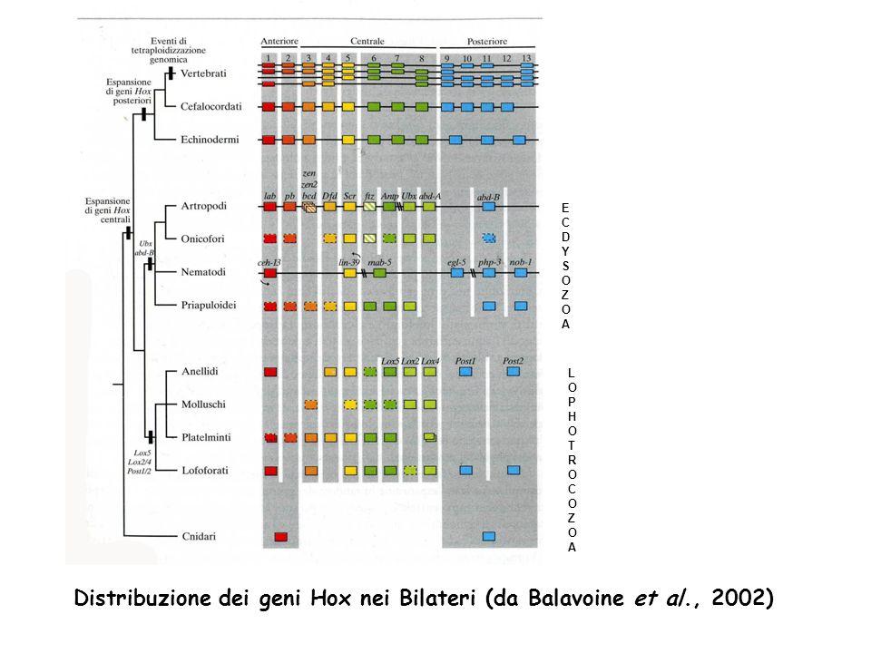 Distribuzione dei geni Hox nei Bilateri (da Balavoine et al., 2002)