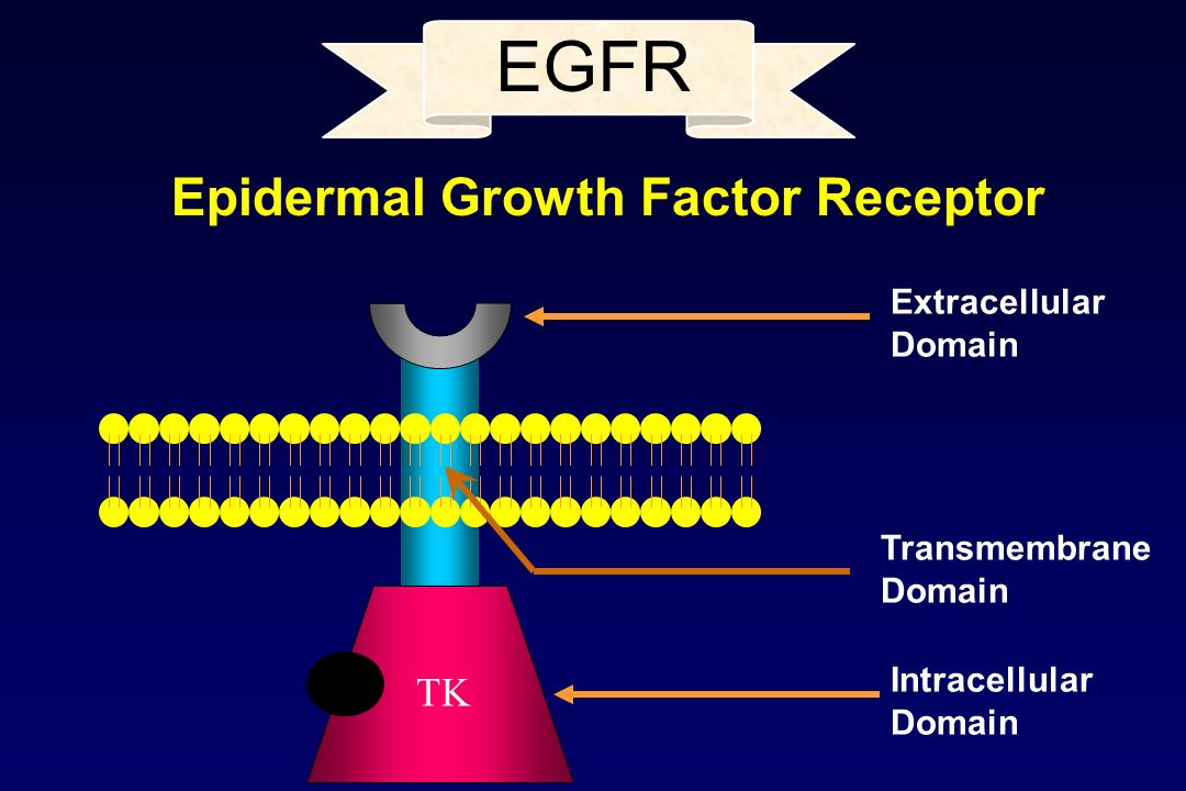 EGFR Epidermal Growth Factor Receptor TK Extracellular Domain
