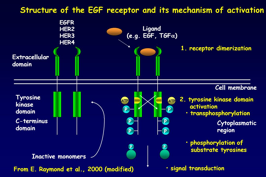 Structure of the EGF receptor and its mechanism of activation