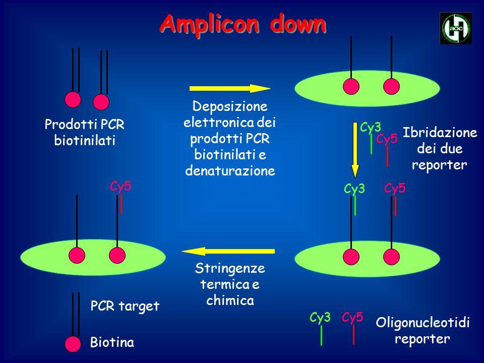Amplicon down Deposizione elettronica dei prodotti PCR biotinilati e denaturazione. Prodotti PCR biotinilati.