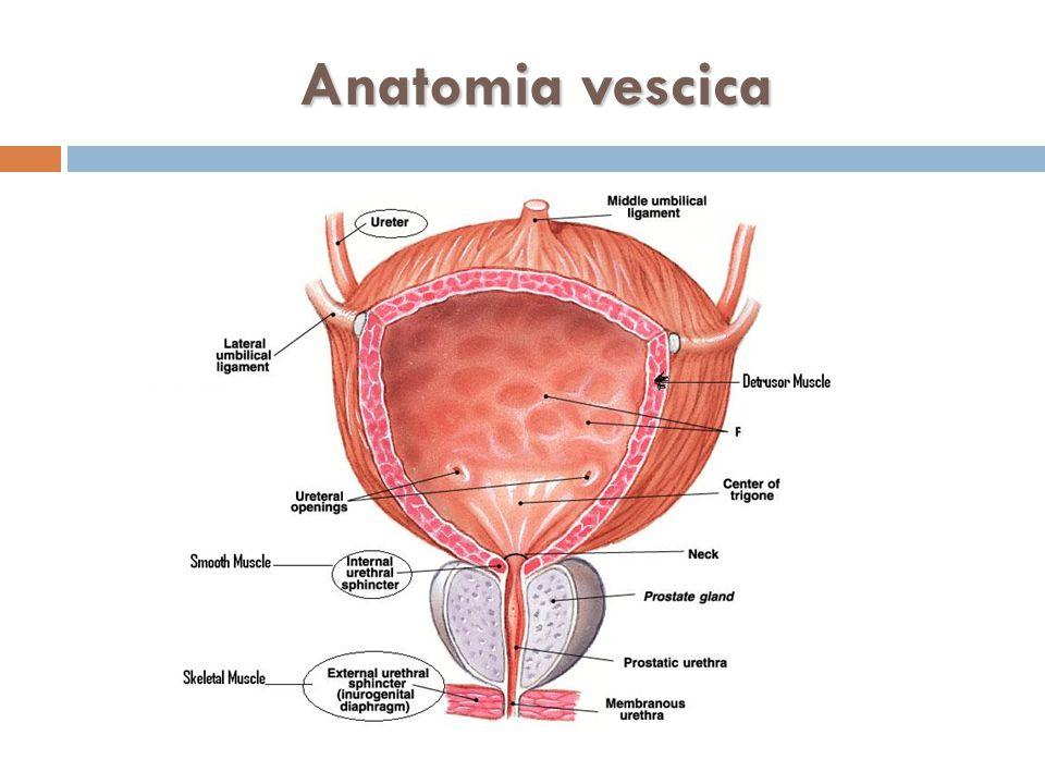 Anatomia vescica