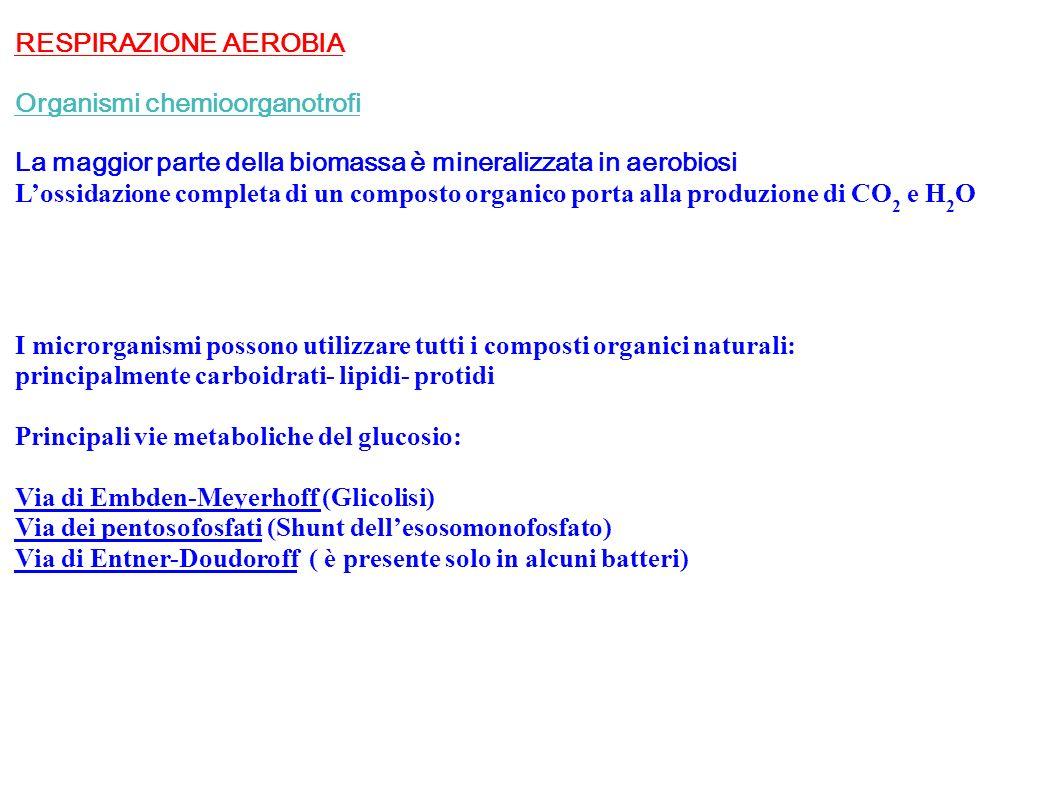 RESPIRAZIONE AEROBIA Organismi chemioorganotrofi. La maggior parte della biomassa è mineralizzata in aerobiosi.