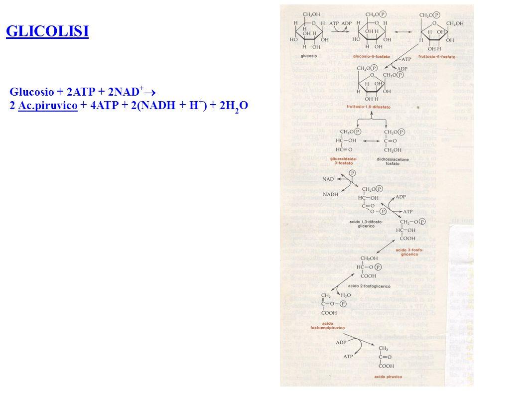 GLICOLISI Glucosio + 2ATP + 2NAD+
