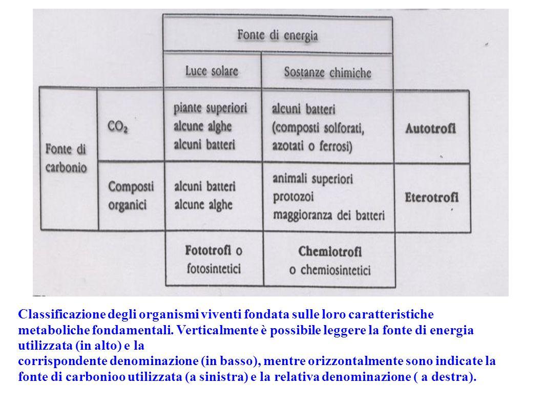 Classificazione degli organismi viventi fondata sulle loro caratteristiche metaboliche fondamentali. Verticalmente è possibile leggere la fonte di energia utilizzata (in alto) e la
