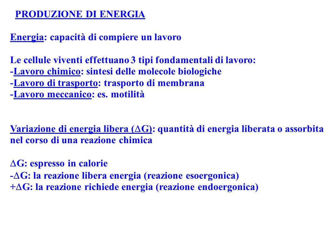 PRODUZIONE DI ENERGIA Energia: capacità di compiere un lavoro. Le cellule viventi effettuano 3 tipi fondamentali di lavoro: