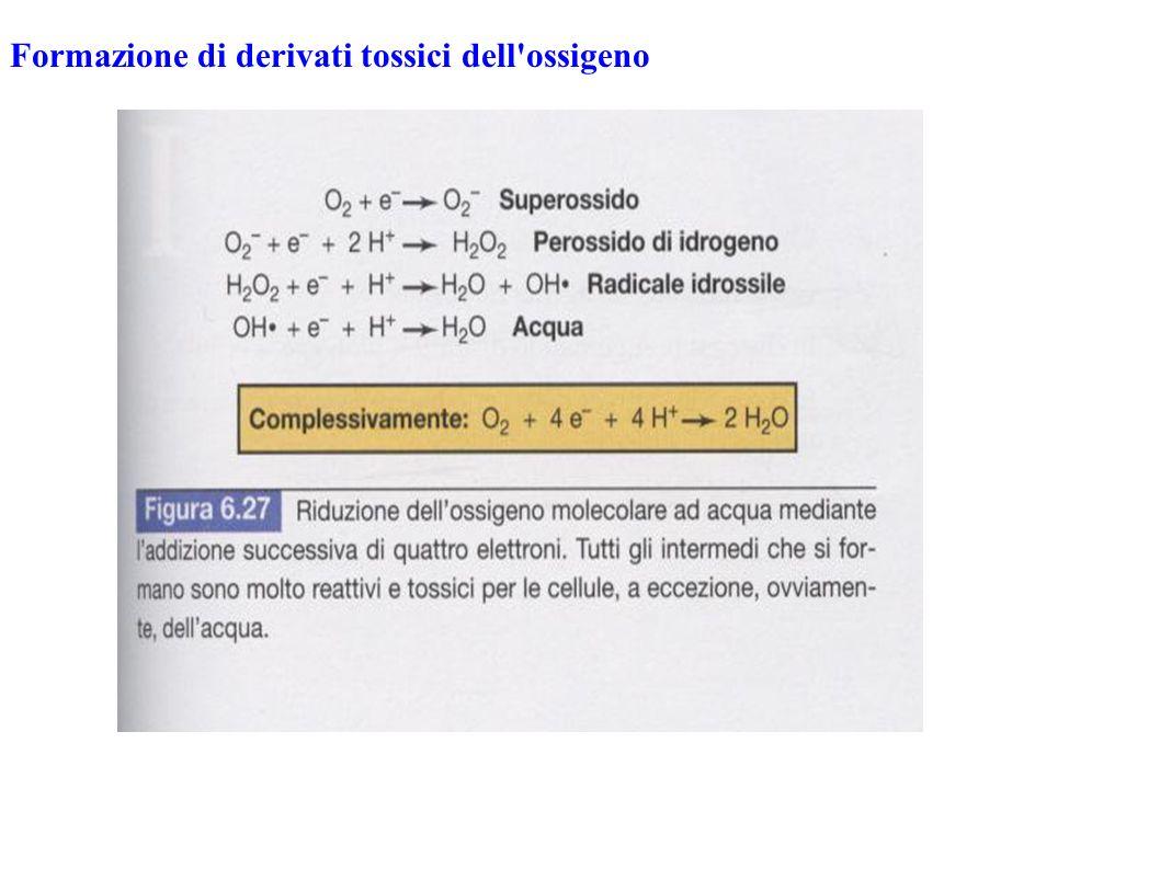 Formazione di derivati tossici dell ossigeno