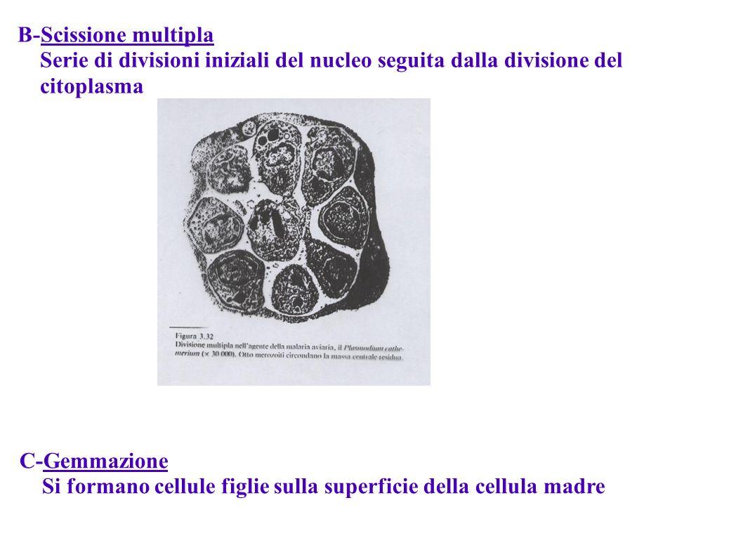 B-Scissione multipla Serie di divisioni iniziali del nucleo seguita dalla divisione del. citoplasma.