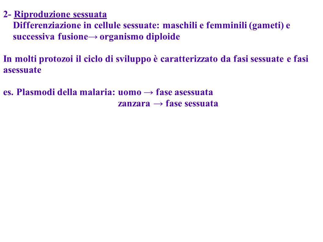 2- Riproduzione sessuata