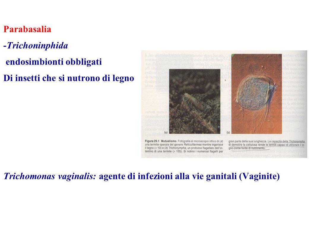 Parabasalia -Trichoninphida. endosimbionti obbligati. Di insetti che si nutrono di legno.
