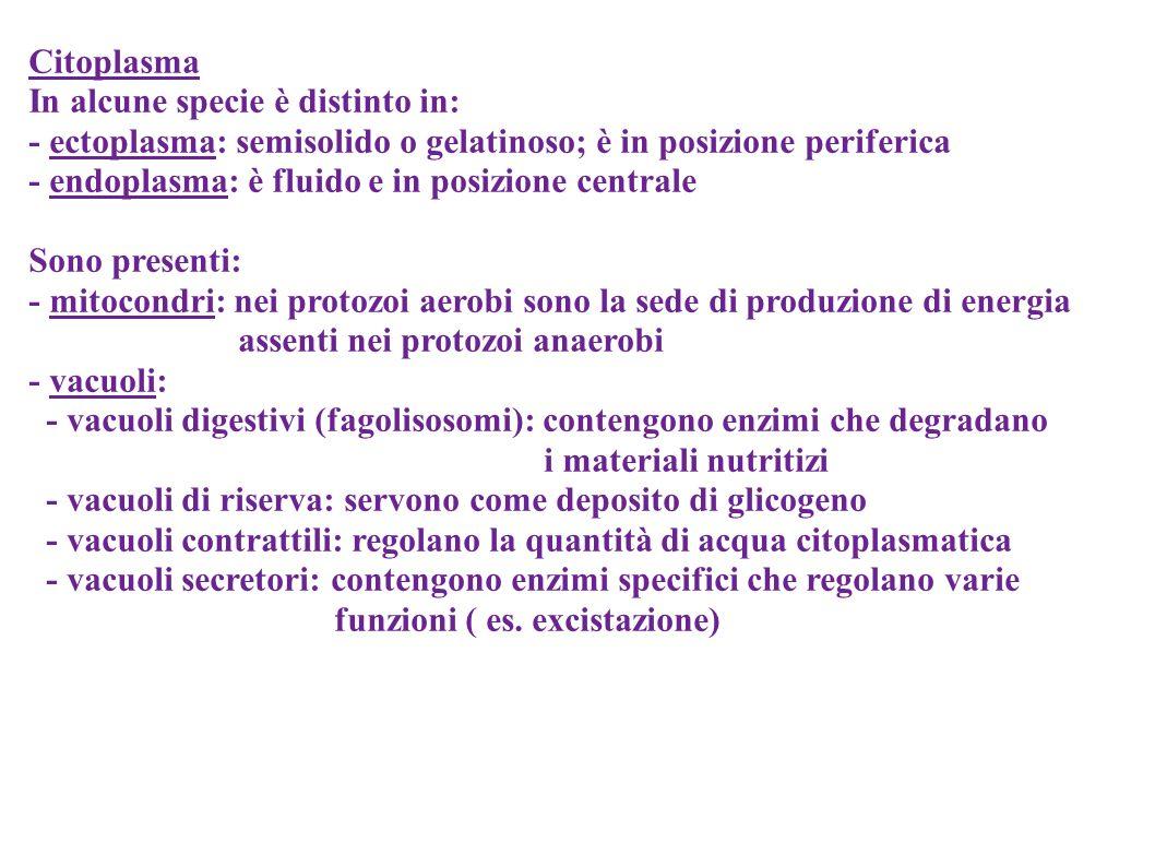 Citoplasma In alcune specie è distinto in: - ectoplasma: semisolido o gelatinoso; è in posizione periferica.