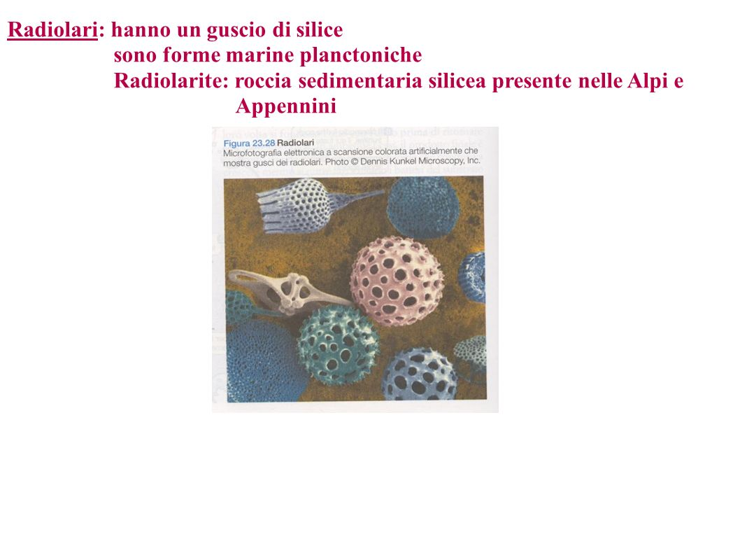Radiolari: hanno un guscio di silice