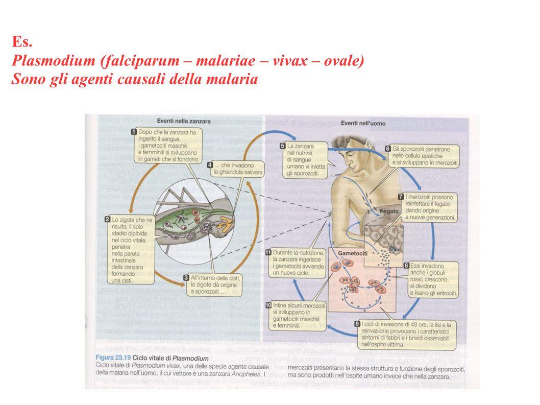 Es. Plasmodium (falciparum – malariae – vivax – ovale) Sono gli agenti causali della malaria