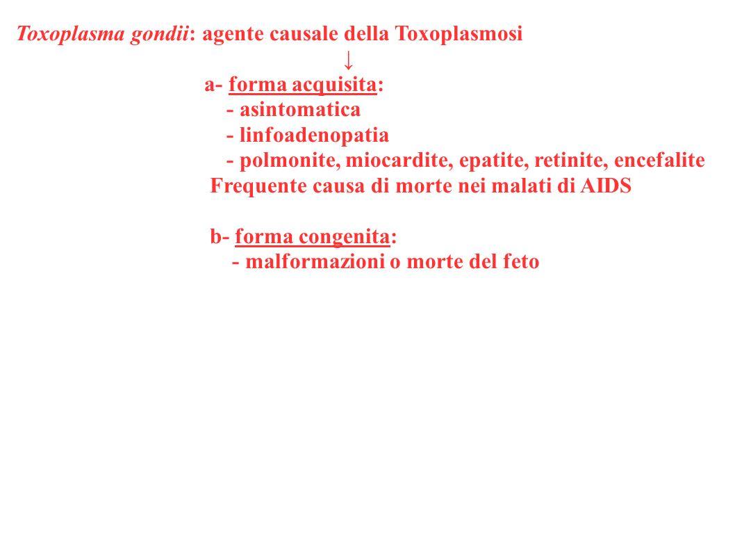 Toxoplasma gondii: agente causale della Toxoplasmosi
