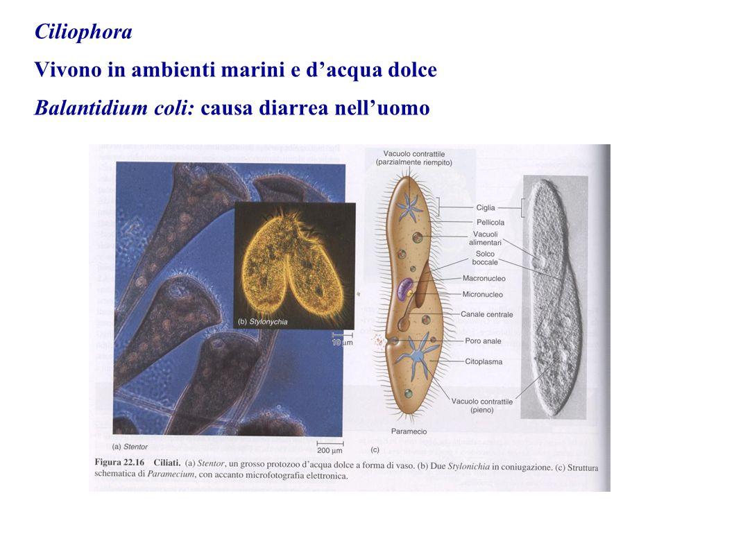 Ciliophora Vivono in ambienti marini e d'acqua dolce Balantidium coli: causa diarrea nell'uomo