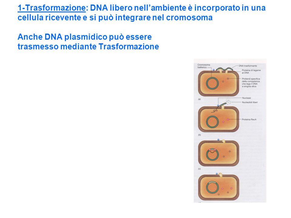 1-Trasformazione: DNA libero nell'ambiente è incorporato in una cellula ricevente e si può integrare nel cromosoma Anche DNA plasmidico può essere trasmesso mediante Trasformazione