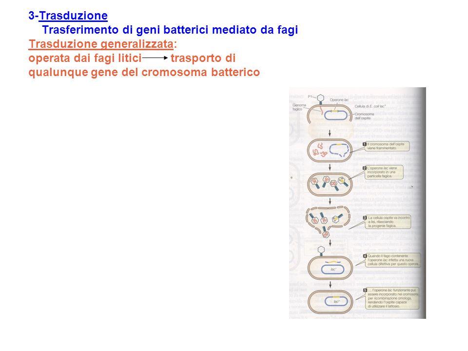 3-Trasduzione Trasferimento di geni batterici mediato da fagi Trasduzione generalizzata: operata dai fagi litici trasporto di qualunque gene del cromosoma batterico