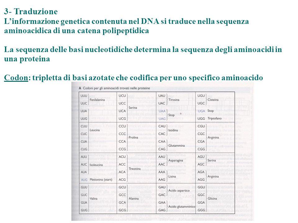 3- Traduzione L'informazione genetica contenuta nel DNA si traduce nella sequenza aminoacidica di una catena polipeptidica.