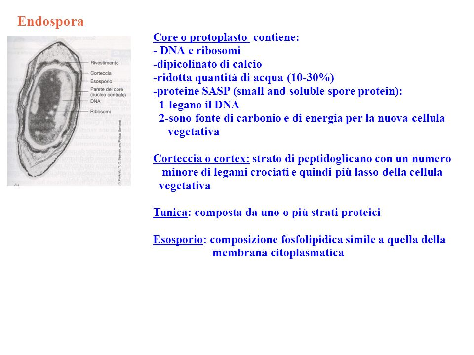 Endospora Core o protoplasto contiene: - DNA e ribosomi