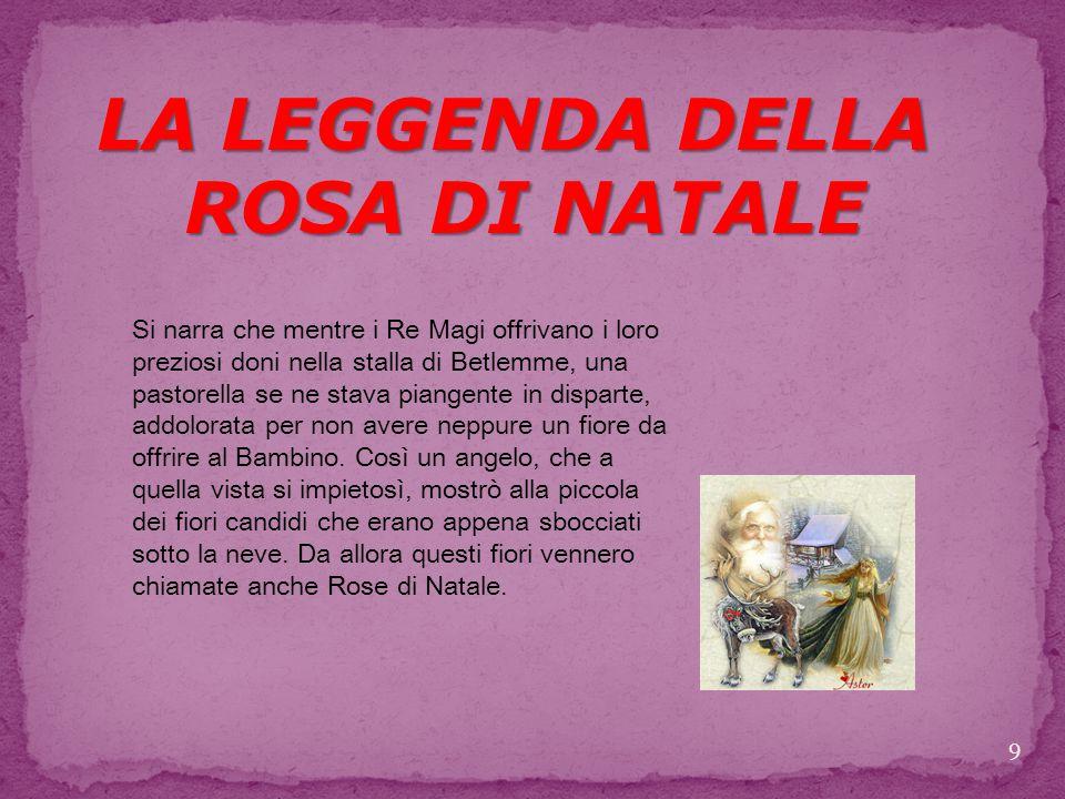 LA LEGGENDA DELLA ROSA DI NATALE
