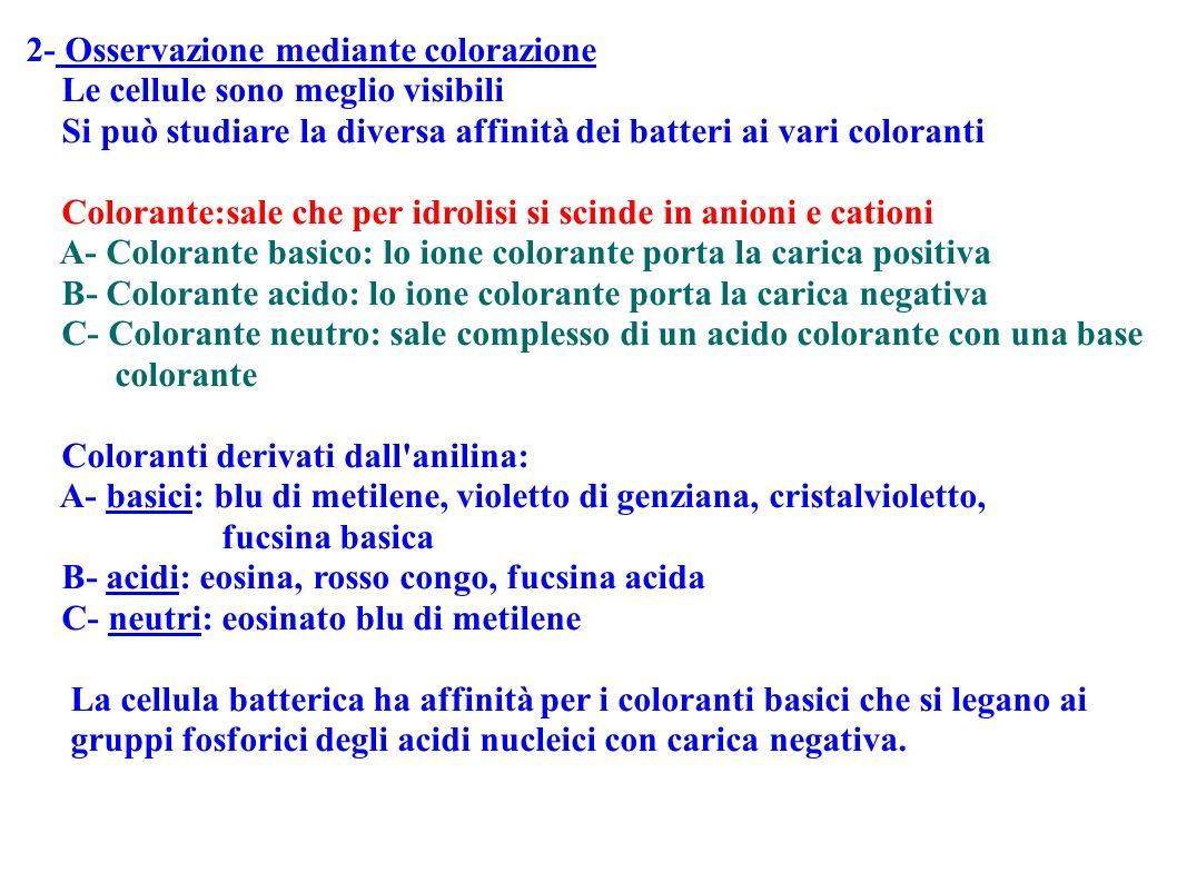 2- Osservazione mediante colorazione