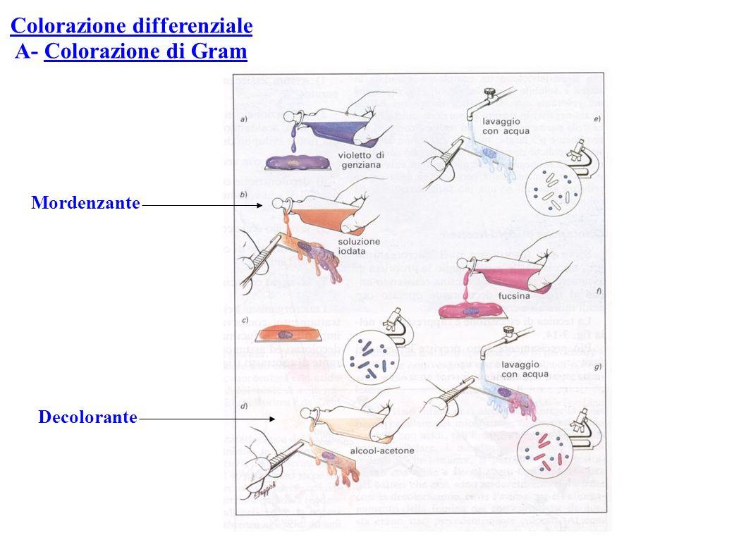 Colorazione differenziale A- Colorazione di Gram