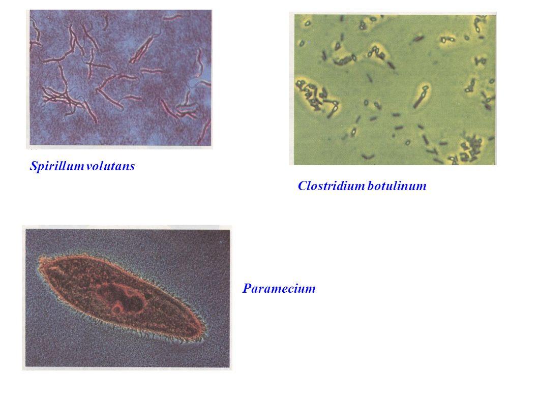 Spirillum volutans Clostridium botulinum Paramecium