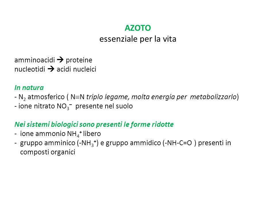 AZOTO essenziale per la vita amminoacidi  proteine