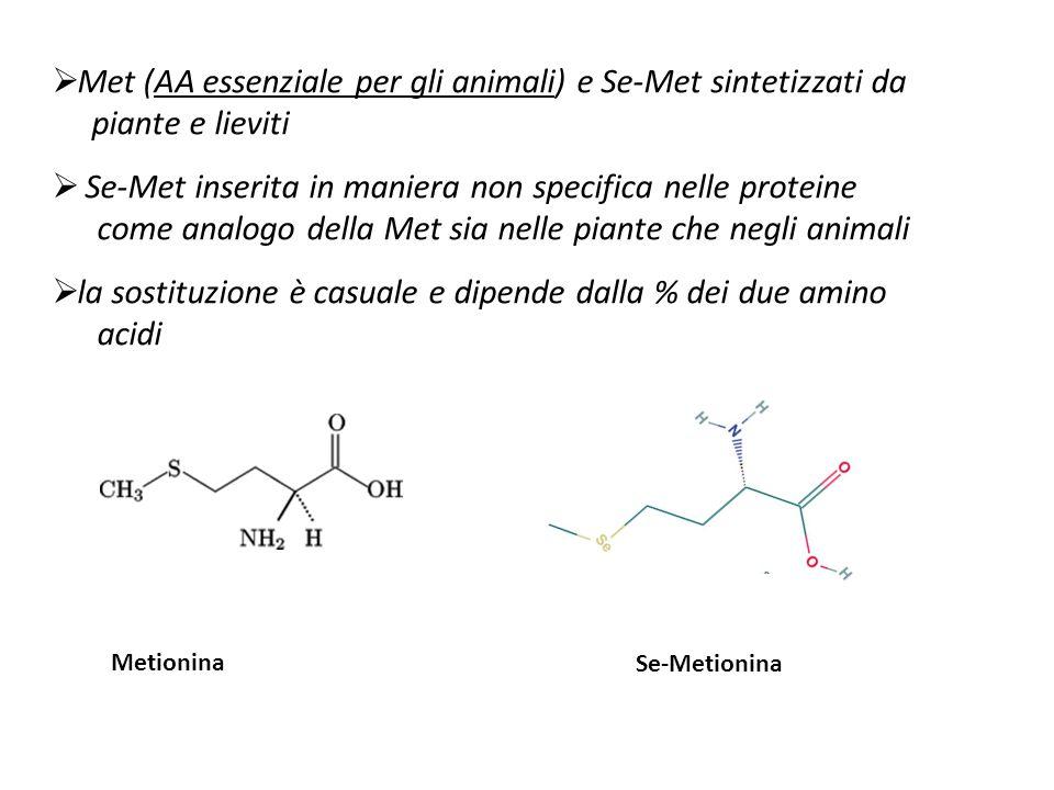 Met (AA essenziale per gli animali) e Se-Met sintetizzati da