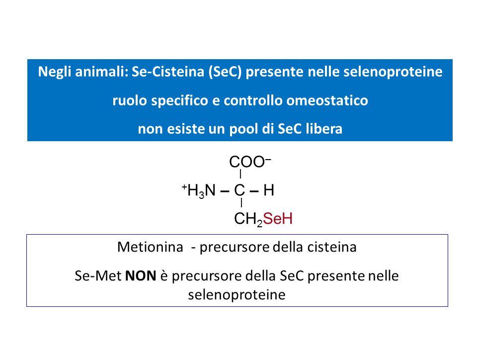 Negli animali: Se-Cisteina (SeC) presente nelle selenoproteine