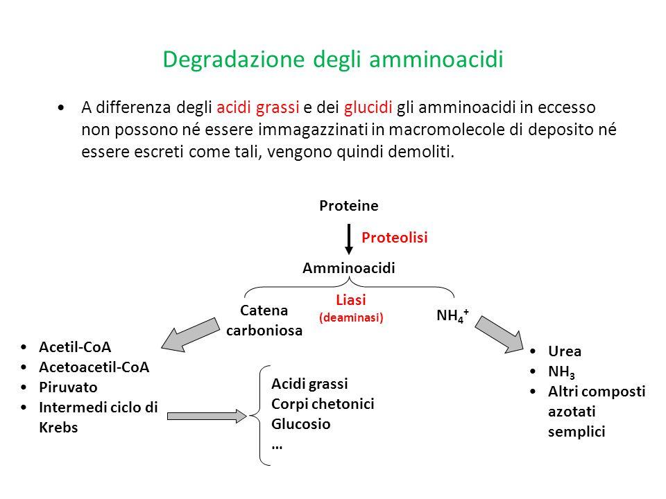 Degradazione degli amminoacidi