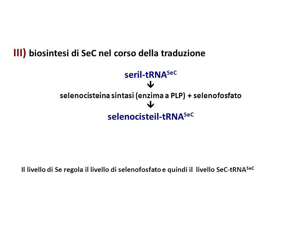 III) biosintesi di SeC nel corso della traduzione