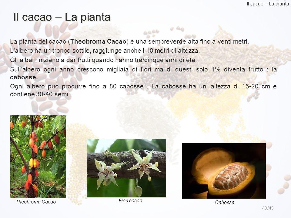 Il cacao – La pianta Il cacao – La pianta. La pianta del cacao (Theobroma Cacao) è una sempreverde alta fino a venti metri.