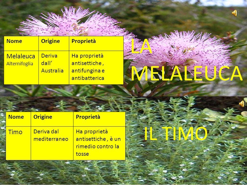 LA MELALEUCA IL TIMO Melaleuca Alternifoglia Timo Nome Origine