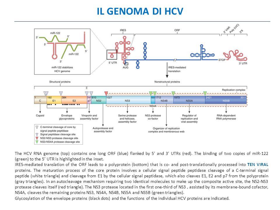 IL GENOMA DI HCV