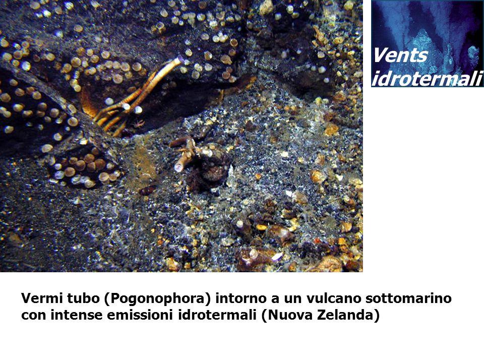 Vents idrotermali. Vermi tubo (Pogonophora) intorno a un vulcano sottomarino.
