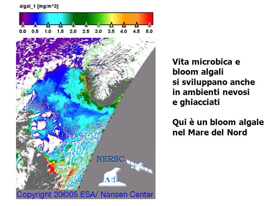Vita microbica e bloom algali. si sviluppano anche. in ambienti nevosi. e ghiacciati. Qui è un bloom algale.
