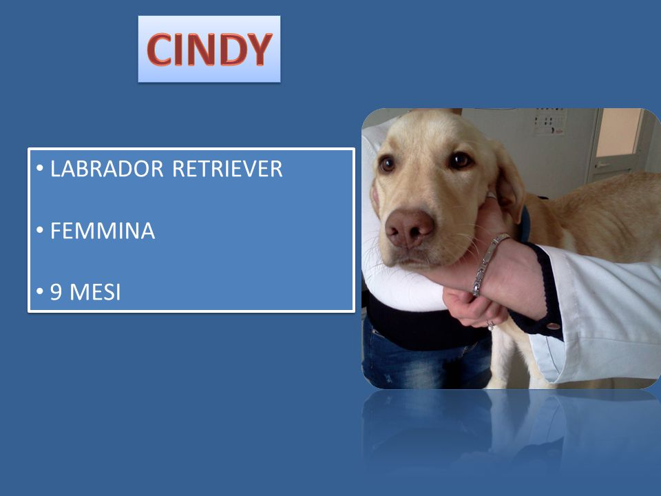 CINDY LABRADOR RETRIEVER FEMMINA 9 MESI